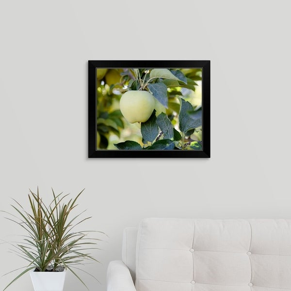 """Golden Delicious apples on a tree in an orchard"" Black Framed Print"