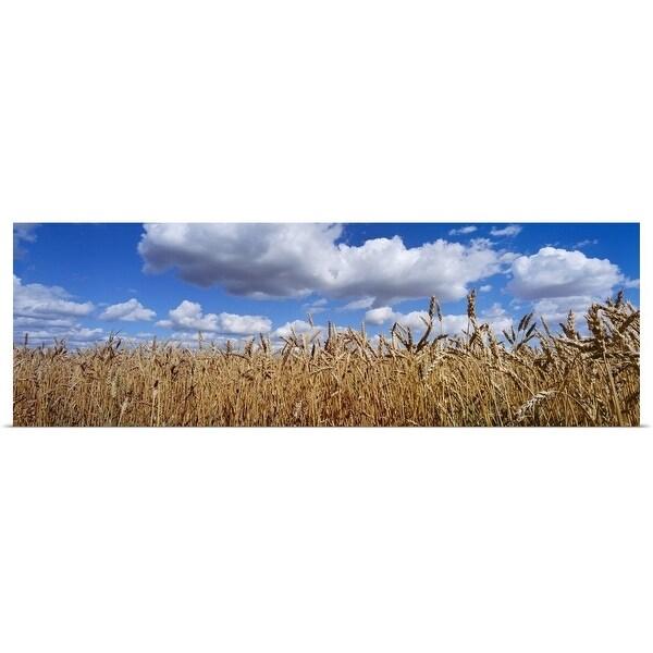 """Wheat crop growing in a field, near Edmonton, Alberta, Canada"" Poster Print"