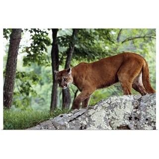 """Female cougar stalking, Minnesota"" Poster Print"