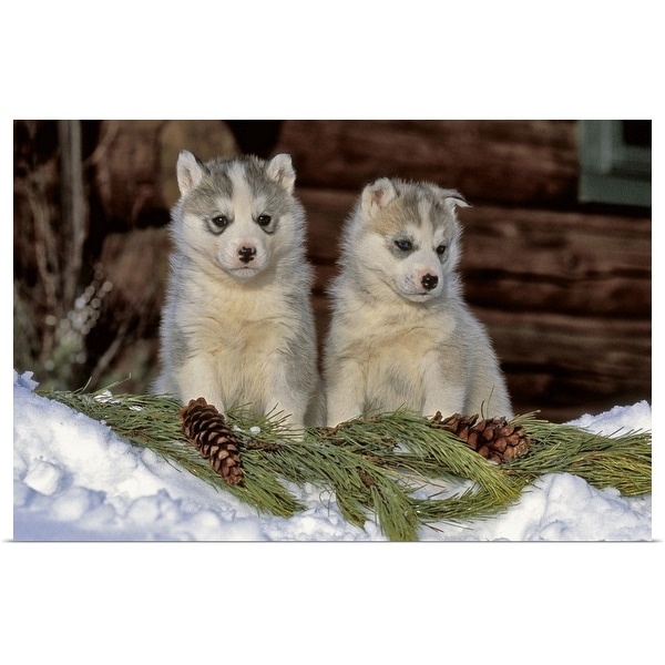 Shop Poster Print Entitled Two Siberian Husky Puppies In The Snow