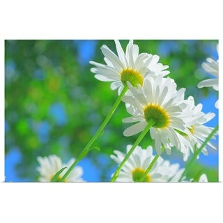 """""""White daisies in sunlight."""" Poster Print"""