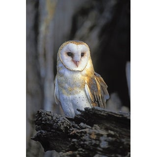 Barn Owl - Lantern Press Photography (Playing Card Deck - 52 Card Poker Size with Jokers)