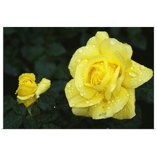 """""""Yellow rose flowers blooming, close up."""" Poster Print"""