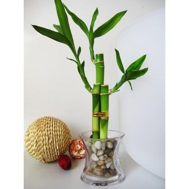 9GreenBox - Lucky 'Bamboo' Plant Arrangement w/ Glass Vase and Pebbles