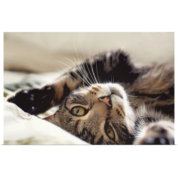 """""""Close up of tabby cat rolling on its back."""" Poster Print"""