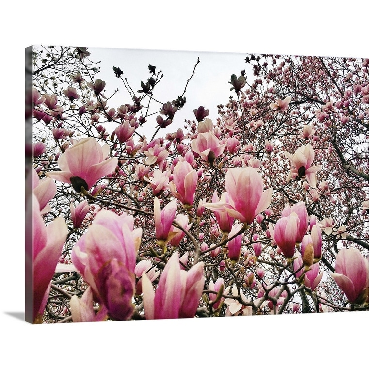 Shop Flowering Magnolia Trees In New York City S Central Park