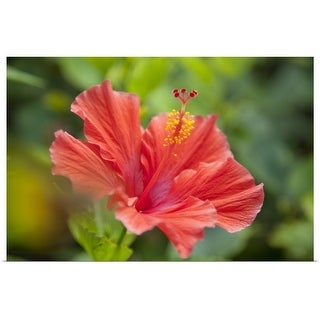 """""""Hibiscus flower in a tropical garden"""" Poster Print"""