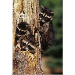 """""""Three young raccoons in hollow tree, Minnesota"""" Poster Print"""