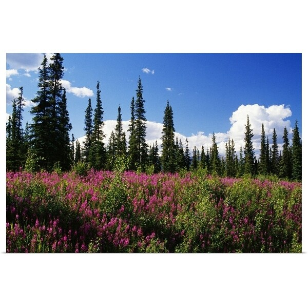 """""""Pink fireweed flowers blooming in forest clearing, Alaska"""" Poster Print"""