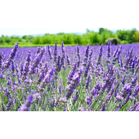 Lavender Flower Seed Mat with Soil & Plant Food