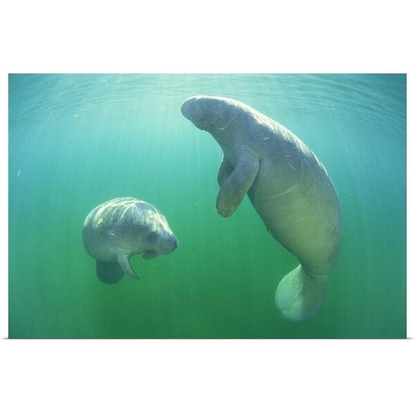 """Pair of florida manatees swimming"" Poster Print"