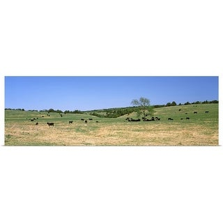 """""""Herd of cows grazing in a field, Kansas"""" Poster Print"""