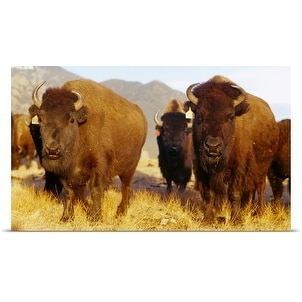 Poster Print entitled Herd of Buffalo Taos NM