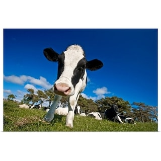 """""""Cows feeding on pasture"""" Poster Print"""