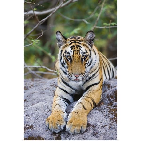 """India, Bandhavgarh National Park, tiger cub lying on rock"" Poster Print"