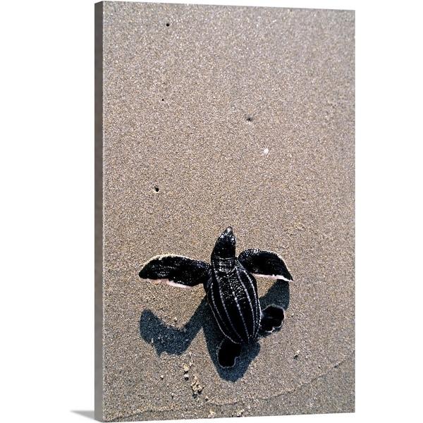 """Leatherback turtle hatchling, crawling towards ocean, Florida"" Canvas Wall Art"