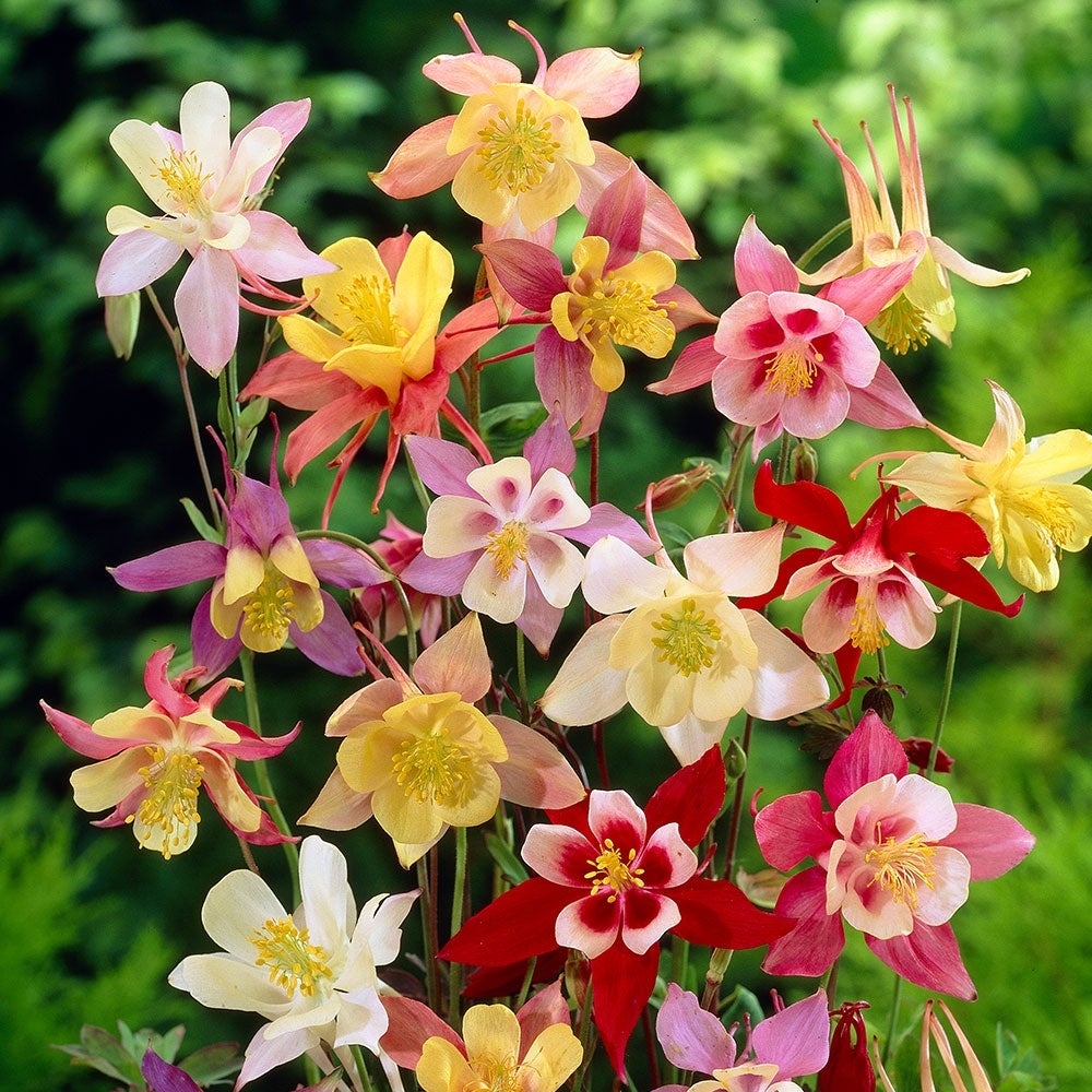 Shop Mixed Columbine Flower Bulbs 10 20 Or 40 Bulbs Overstock