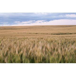 Yellow Field And Sky Photograph Art Print