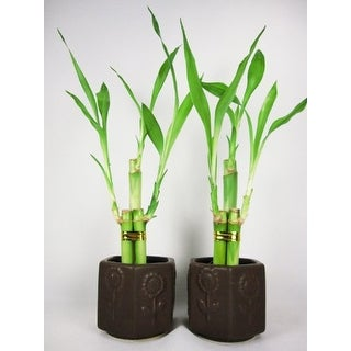 9GreenBox - 2 Set Lucky 'Bamboo' w/ Ceramic Vase