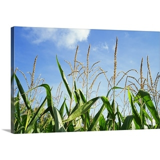 """""""Low angle view of a corn crop"""" Canvas Wall Art"""