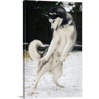 Premium Thick-Wrap Canvas entitled Siberian husky dancing in snow - Multi-color
