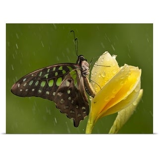 Poster Print entitled Butterfly on a yellow flower with rain in the background