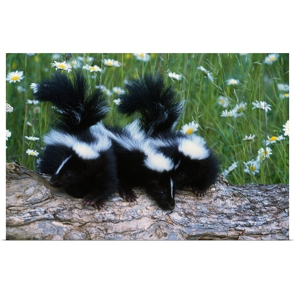 """""""Three young skunks on log in wildflower meadow, Minnesota"""" Poster Print"""