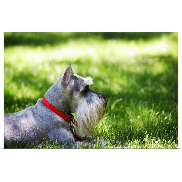 """""""A Schnauzer laying in the grass on a sunny day"""" Poster Print"""