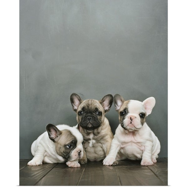 """""""Three French bulldog puppies sitting on a wooden floor"""" Poster Print"""
