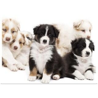 """Australian Shepherd puppies"" Poster Print"
