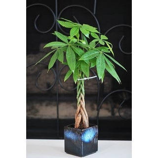9greenbox - 5 Money Tree Plants Braided Into 1 Tree with Ceramic Pot