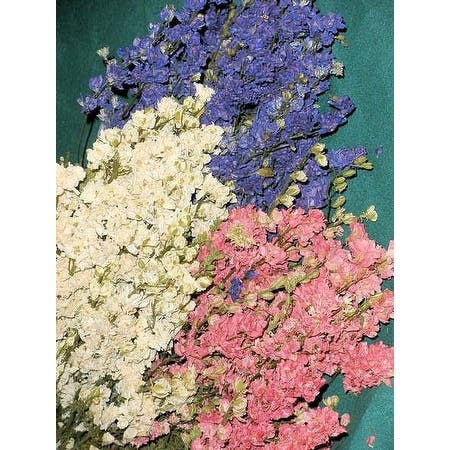 All natural farm grown Larkspur 4 oz. ( Approx. 28 stems per bunch ) Length 24-28in. -- Case of 20 bunches - Light Blue