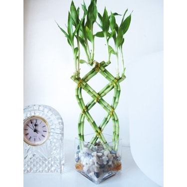 Shop 9greenbox Live 8 Braided Lucky Bamboo Plant W Pebble
