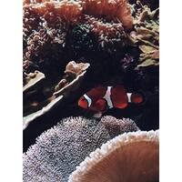 Clownfish Photograph Wall Art Canvas