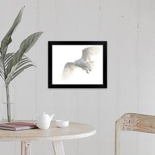 """Wild male snowy owl flying against white sky background, Payton, Colorado."" Black Framed Print"