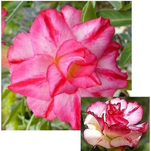 "9GreenBox - Triple Spin Desert Rose - 4"" Pot"