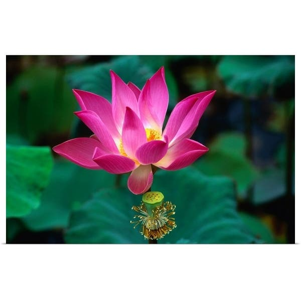 Shop Lotus Flower Indonesia Multi Color Free Shipping On Orders