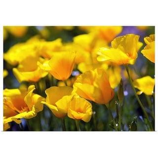 """""""Desert Poppy Flowers In Bloom"""" Poster Print"""