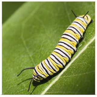 """""""Monarch butterfly caterpillar on a common milkweed leaf."""" Poster Print"""