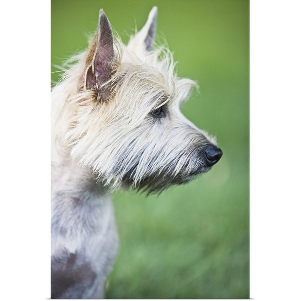 """""""Cairn Terrier in profile"""" Poster Print"""