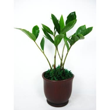 9GreenBox - RARE ZZ Houseplant Golden Tree Zamioculcas w/ Ceramic Pot