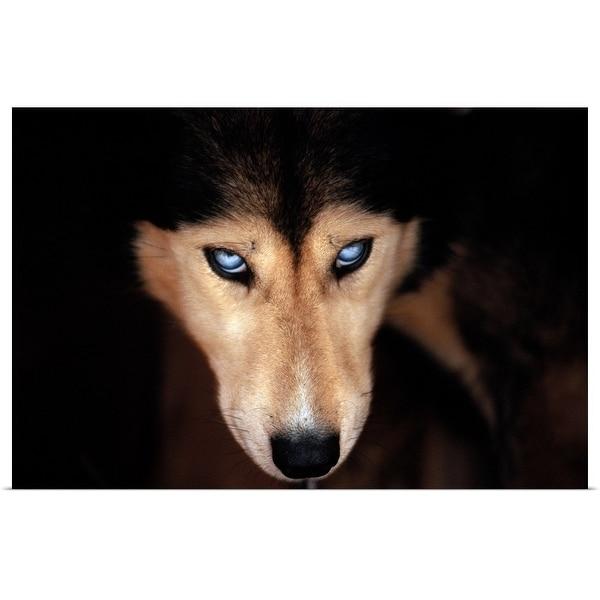 """Siberian husky, head-shot"" Poster Print"