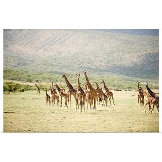 """Masai giraffes in a forest, Lake Manyara, Tanzania"" Poster Print"