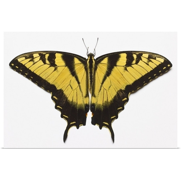 """""""Western Tiger Swallowtail Butterfly"""" Poster Print"""