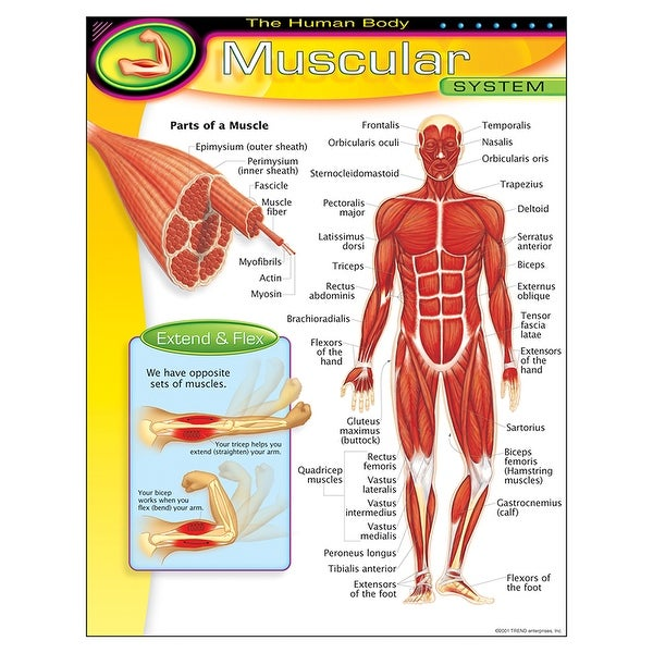 Shop Chart Muscular System Free Shipping On Orders Over 45