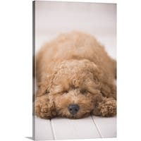 Premium Thick-Wrap Canvas entitled Poodle sleeping on floor