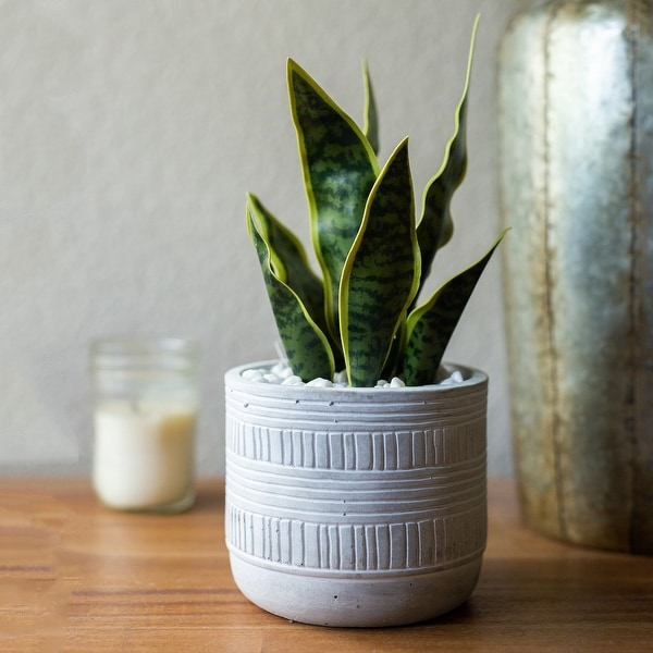 "12""H Artificial Snake plant in 4.75"" Pueblo Cement Pot - ONE-SIZE. Opens flyout."