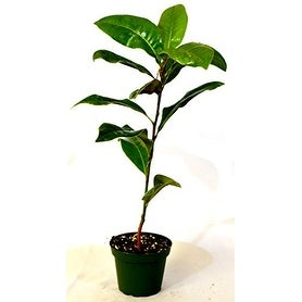 9GreenBox - Southern Magnolia Tree - 4'' Pot