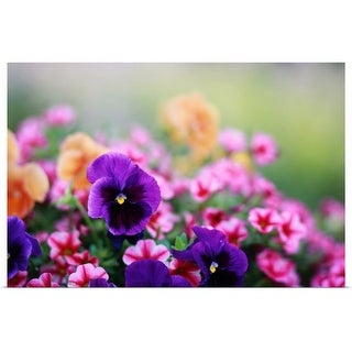 """""""Petunias and Pansies in the spring"""" Poster Print"""