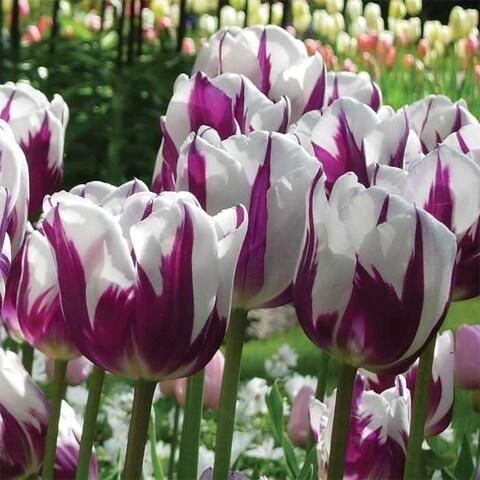 Blueberries & Cream Tulip Bulbs- 10 Count